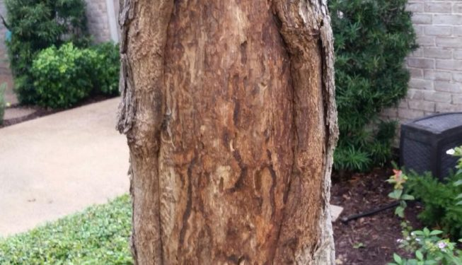 This oak tree was damaged by cambial borers. The damaged areas have been cleaned out and the tree is being injected to prevent further issues.